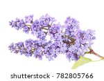 Lilac Blooming Tree Isolate...