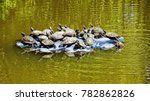 turtles floating in a pond on... | Shutterstock . vector #782862826