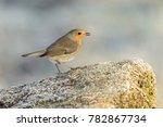 robin  erithacus rubecula | Shutterstock . vector #782867734
