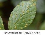 leaves of a blackberry bush... | Shutterstock . vector #782877754