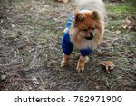 the wear  aggressive spitz dog... | Shutterstock . vector #782971900