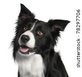 Close up of border collie  4...