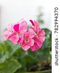"geranium plant "" horizon divas...   Shutterstock . vector #782994370"