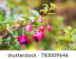 Fuchsia Flower Beautiful  Color