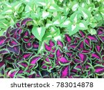 red and green leaves of the... | Shutterstock . vector #783014878