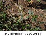euphorbia hirta  garden spurge  ...   Shutterstock . vector #783019564