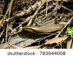 lizard snake wildlife reptile   Shutterstock . vector #783044008