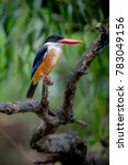 black capped kingfisher has a...   Shutterstock . vector #783049156