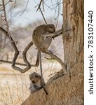Vervet Monkeys Relaxing In The...