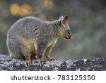 the common brushtail possum is... | Shutterstock . vector #783125350