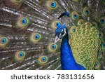 brave and beautiful peacock at... | Shutterstock . vector #783131656