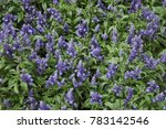 Sage  Salvia Officinalis  Aka...