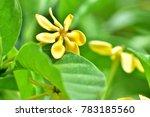 Golden Gardenia  Gardenia...