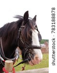 Small photo of Welsh Cob working on the Tiverton Canal hauling passenger barges