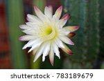 Nightblooming Cereus Cactus...