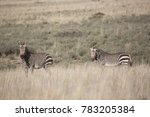 mountain zebra  equus zebra... | Shutterstock . vector #783205384