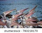 pelican feeding at central coast   Shutterstock . vector #783218170