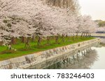 japanese cherry blossoms trees  ...