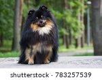 Pomeranian Dog After Dog Show...
