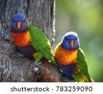 rainbow lorikeet at oatley park ...   Shutterstock . vector #783259090