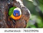 rainbow lorikeet at oatley park ...   Shutterstock . vector #783259096