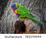 rainbow lorikeet at oatley park ... | Shutterstock . vector #783259099
