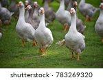 australian duck at centennial... | Shutterstock . vector #783269320