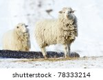 Two White Sheeps On The Winter...