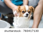 chihuahua puppies are bathing | Shutterstock . vector #783417130