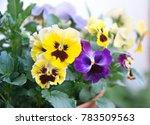 Viola Plant With Multicolor...