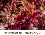 Small photo of Heuchera, decorative deciduous plant with bright caramel leaves. Heuchera Marmalade (coral bells, alumroot) in garden. Beautiful red leaves as backdrop, background or pattern. Filled full frame.