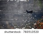duck at royal national park ... | Shutterstock . vector #783513520