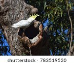 yellow crested cockatoo  royal... | Shutterstock . vector #783519520