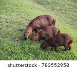 Small photo of The capybara Hydrochoerus hydrochaeris is the largest living rodent in the world. Also called chig ire and carpincho, it is a member of the genus Hydrochoerus