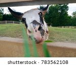 Close Up Of A Hungry Donkey In...