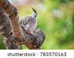 crested pigeon at sydney ... | Shutterstock . vector #783570163