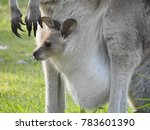 Wild Kangaroo With Joey In Pouch