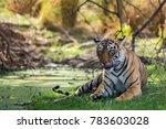 wild tigress from ranthambore... | Shutterstock . vector #783603028