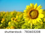 beautiful sunflower field | Shutterstock . vector #783603208