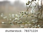 Willow Catkins In Early Spring