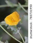yellow poppy in the garden.... | Shutterstock . vector #783731950