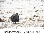 Small photo of a yak so strong against the winy snowy mountain