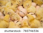 a newborn chicken is knocked... | Shutterstock . vector #783746536