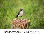 fiscal flycatcher  melaenornis... | Shutterstock . vector #783748714