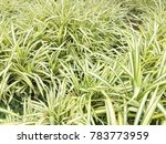 pandanus palm tree flowerbed | Shutterstock . vector #783773959
