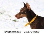 Brown Doberman Pinscher Profile