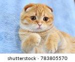 Stock photo a scottish fold kitten 783805570