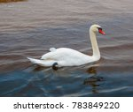 beautiful white swans floating... | Shutterstock . vector #783849220