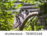 Southern White Faced Owl ...