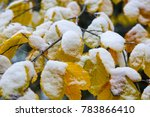 Last Yellow Leaves Covered Wit...